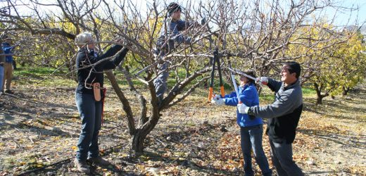 L'éclaircissage des arbres fruitiers : en quoi consiste-t-il?