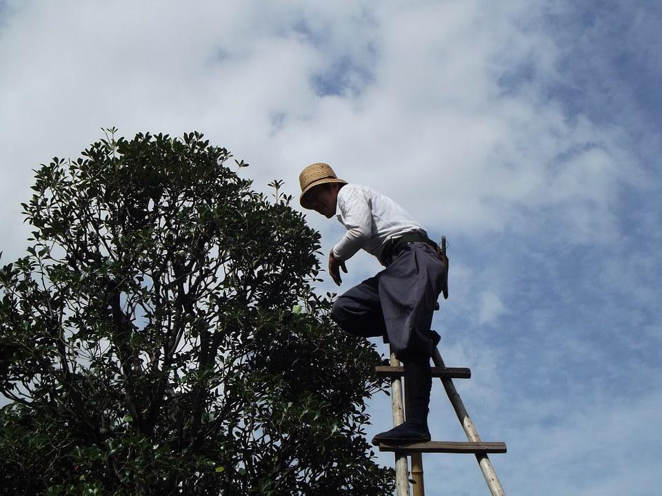 Élagage des arbres fruitiers: pommier et abricotier